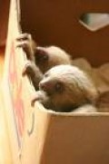 My sister sent me this photo of her sloths. She sent me the one closest to us. This is her when they were 1 week old. I feel bad for my baby sloth. She was sent from Brazil and then all the over to florida. The poor thing. She seems alot happier now