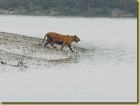 Image Courtesy www.kolkatabirds.com/sunderbans.htm