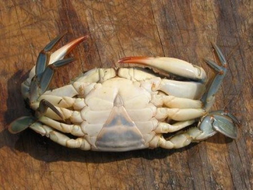 peeler crab - underside