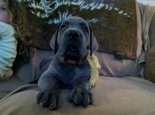 Blue Great Dane baby, Kernan.
