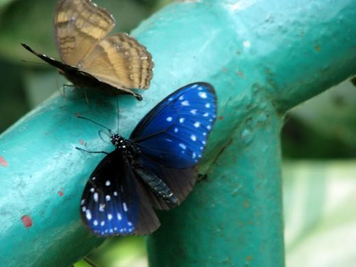 Butterflies at KL Butterfly Park.