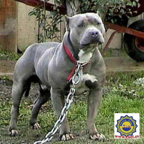Pit bull Pictures, Images and Photos.