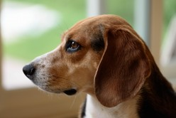 Inviting a Beagle into Your Family