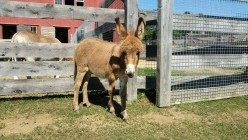 How a miniature donkey rescue &  farm stole my heart!
