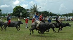 The Great Buffalo Race at Chon Buri.