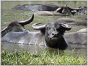 'Water' babe buffaloes
