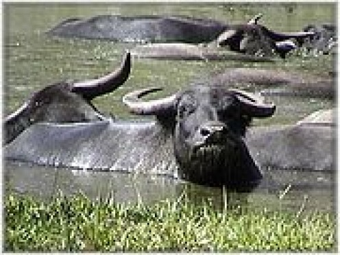 'Water' babe buffaloes