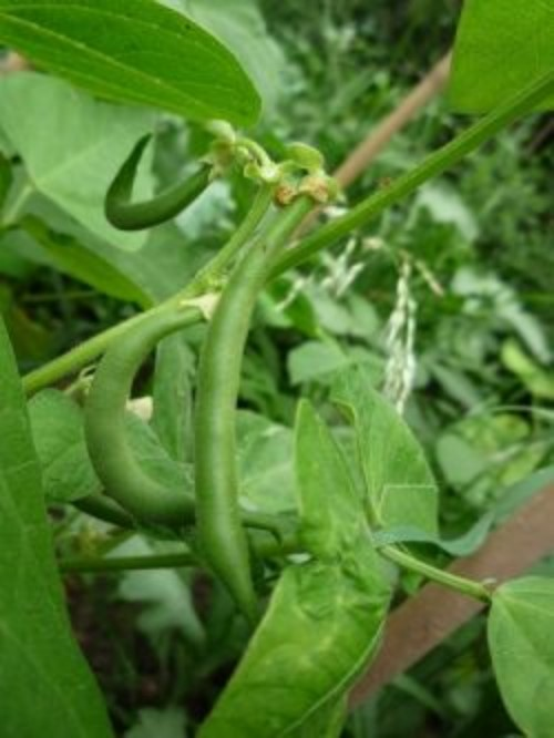 Growing Beans from Seed