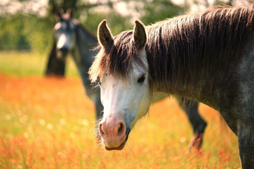 Intelligent and gentle, Welsh ponies are perfect for young riders.