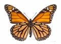Annual Migration of the Monarch Butterfly