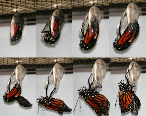 Life Cylce of the Monarch Butterfly