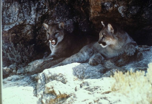 Mountain Lions on a rock
