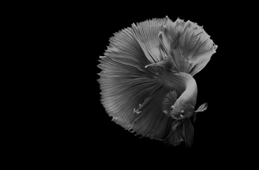 A Siamese Fighting Fish