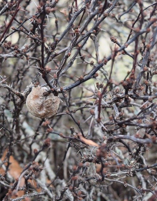 Ootheca or egg case of the Praying Mantis hanging in a thorny Barberry bush. Their young will hatch when warmer.