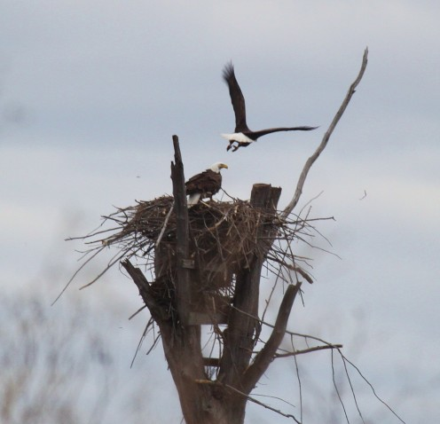 For the second year in a row (2012), Missisquoi NWR provides nesting habitat for bald eagles.