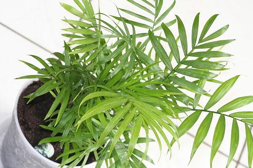 Bamboo Palm (Chamaedorea Elegans).