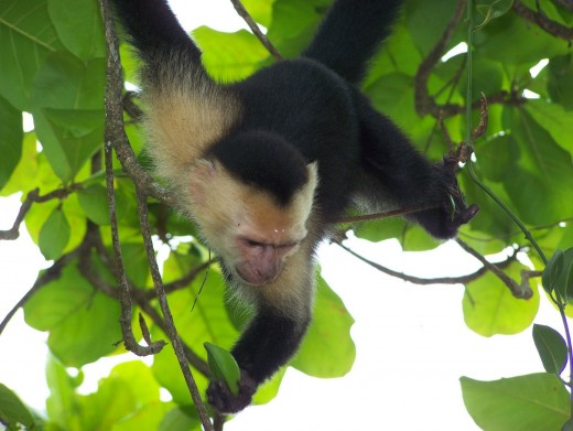 White faced capuchin monkey swinging in a tree, where a monkey should be. This is a photo from Manuel Antonio National Park, Costa Rica