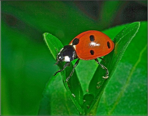 What a beautiful photo of a ladybug on a green leaf.