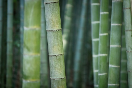 Bamboo plant is a type of grass that grows to tall heights with some of the largest and tallest growing over 30 metres tall and  as wide as 30cm in diameter.