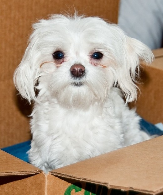 How To Housetrain A Puppy In 5 Days Using A Cardboard Box Pethelpful