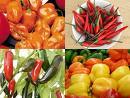Pick Your Favorite Chilies.