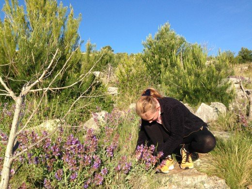 Picking sage flowers in may.