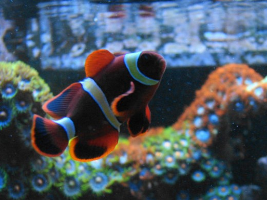 Maroon clownfish a look at the large and aggressive for Clown fish scientific name