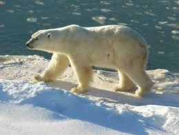 http://en.wikipedia.org/wiki/File:Polar_Bear_2004-11-15.jpg