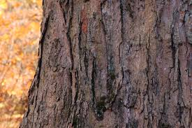 Another shot of Sugar Maple's shaggy bark.