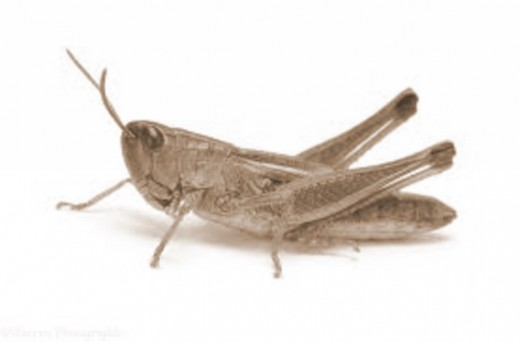 A Grasshopper can destroy crops or become a meal itself.