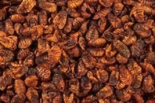 Silkworms can provide multiple revenue streams for their farmers.