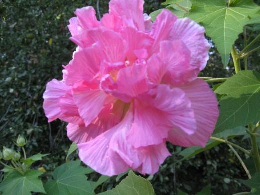 confederate rose bush