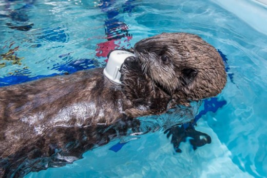 A young sea otter now named Lincoln playing at the Oregon Zoo.