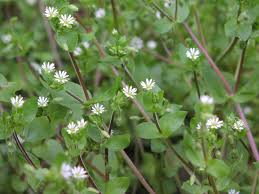 One of the many varieties of the Chickweed (Stellaria) genus.