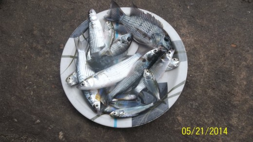 Mullet fish for bone health