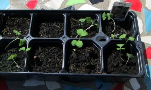 Planting Swede Seeds