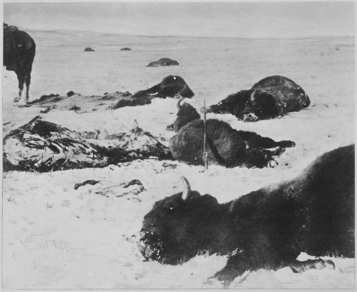 Bison lying dead in the snow