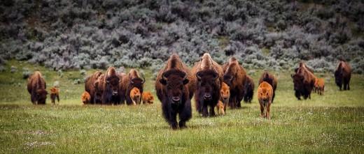 Bison on prime grazing land