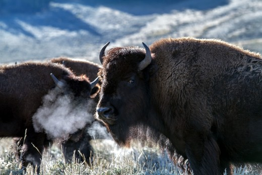 Yellowstone National Park became a refuge for 23 of the last remaining American bison