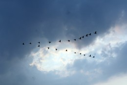 Birds forming a V-formation to cut air resistance and drag to fly at a faster pace