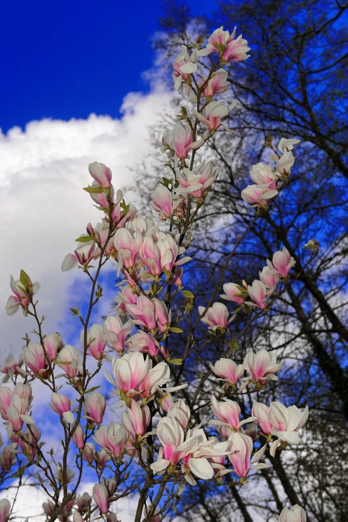 How to Care for Tulip Trees