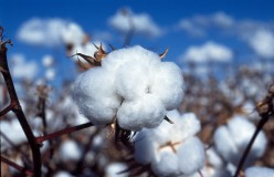 Cotton, Its Agriculture, and How to Maintain Cotton Textiles During Washing and Storage