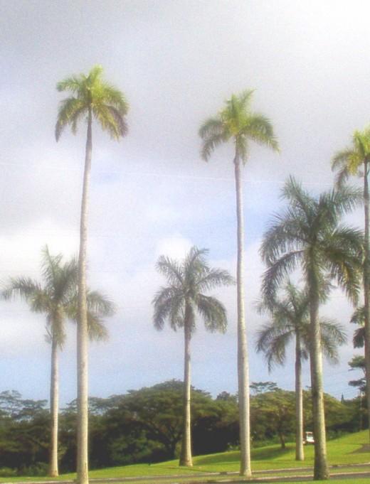 Prince Palms