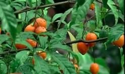Iboga: The Sacred Plant