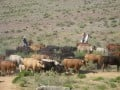 Saragosa Dude Ranch: The Crazy Cattle Drive