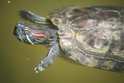 Red Eared Slider Turtles Photos, Videos and Information