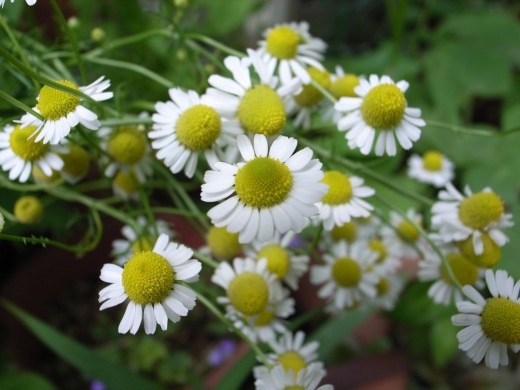 I don't recommend trying to harvest Chamomile for your own medicinal use. It looks too much like a common daisy. And before you ask, the common daisy does not have any proven medical benefits.