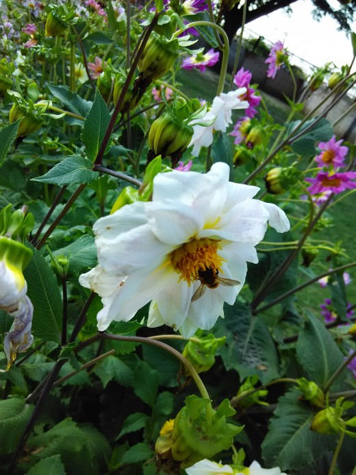 Natural beauty.Bee is taking feed