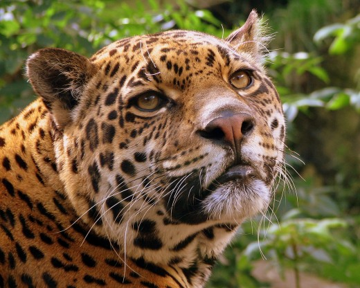Jaguar at Edinburgh Zoo. Book tickets online in advance and save money. (There is a steep uphill walk to reach the zoo).