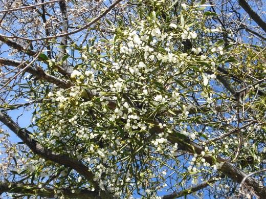 "Viscum Album (Mistletoe's Latin name meaning ""sticky white"") displays its fertility by producing hundreds of pearly berries."